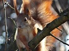 Wiewiórka - sąsiadka