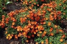 Pięciornik krzewiasty Red Ace Potentilla fruticosa. Niski, rozłożysty krzew o dekoracyjnym ulistnieniu i atrakcyjnych kwiatach. Roślina dorasta do 0,5 metra wysokości i dwukrotn...