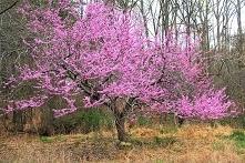 Judaszowiec kanadyjski Cercis canadensis Szybko rosnące drzewo liściaste o sz...