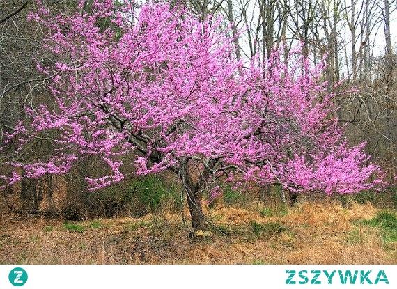 Judaszowiec kanadyjski Cercis canadensis Szybko rosnące drzewo liściaste o szerokiej i rozłożystej koronie. W polskim klimacie roślina dorasta zazwyczaj do 8 metrów wysokości i niemal takiej samej szerokości. Rozpiętość i kształt korony judaszowca kanadyjskiego uzależniona jest od nasłonecznienia jego stanowiska. Najpiękniej rośnie w miejscach słonecznych, na których jego korona jest kulista i rozłożysta, a pędy silnie rozkładają się na boki. Drzewo liściaste ma krótki, prosty lub przekrzywiony pień, który pokrywa ciemna i gładka kora. Judaszowiec kanadyjski zakwita wcześnie, na przełomie kwietnia i maja, a kwiaty pojawiają się przed liśćmi. Są drobne, motylkowate kształtem i bardzo obficie porastają drzewo. Pąki kwiatowe wyrastają nie tylko z gałęzi, ale także bezpośrednio z pnia, dzięki czemu drzewo wygląda jak jeden, wielki kwiat. Kwiaty mają intensywnie różowy kolor i przyjemnie pachną. Liście pojawiają się po przekwitnięciu kwiatów, są sercowate kształtem i ostro zakończone. Ich blaszka jest błyszcząca i mocno zielona, jesienią zaś staje się złocista. Judaszowiec kanadyjski jest cudowną ozdobą każdego ogrodu, świetnie prezentuje się jako soliter.
