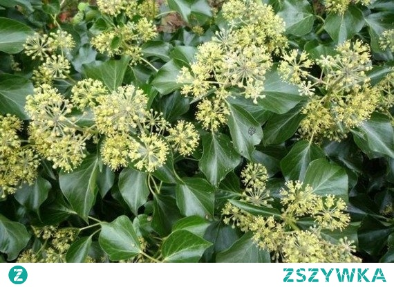 Bluszcz pospolity Arborescens jest to zimozielone pnącze o krzaczastym i nieregularnym pokroju. Występuje w formie kwitnącej, owocuje późną wiosną, zobaczyć wówczas można ciemnofioletowe, okrągłe owoce. Liście natomiast posiadają zielone ubarwienie, są lśniące. Docelowa wysokość tej rośliny wynosi od 3 m do 5 m. Warto wspomnieć, iż roślina ta rośnie wolno. Bluszcz pospolity Arborescens (Hedera helix Arborescens) jest rośliną tolerancyjną. Jednak najlepiej czuje się w podłożu wilgotnym o odczynie zasadowym. Słabiej natomiast w glebach suchych, kwaśnych. Jeśli chodzi o stanowisko, powinien on być w miejscu półcienistym lub cienistym. Należy również pamiętać o podlewaniu przed zimą, gdyż nie zrzuca liści. Bluszcz ten dzięki swojej gęstości często stosowany jest do zasłonięcia ścian. Nadaje się do ogrodów przydomowych, parków i zieleni miejskiej. Ten jak i zarówno inne pnącza sadzić można przez cały okres wegetacyjny, czyli po przymrozkach oraz przed pierwszym mocnym mrozem (zazwyczaj od kwietnia do końca października).