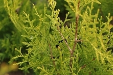 Tuja Golden Brabant Thuja occidentalis sprawdź ceny sadzonki w krzewyozdobne.net
