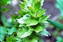Lubczyk ogrodowy jest to bylina, która należy do Apioideae Seemann. Jest prze...