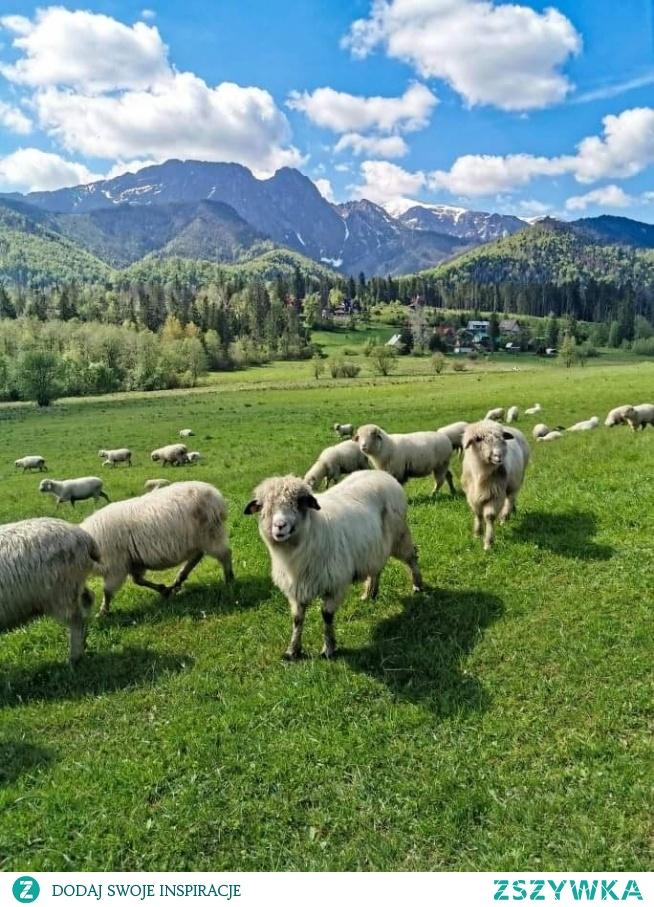 Tatry i owieczki