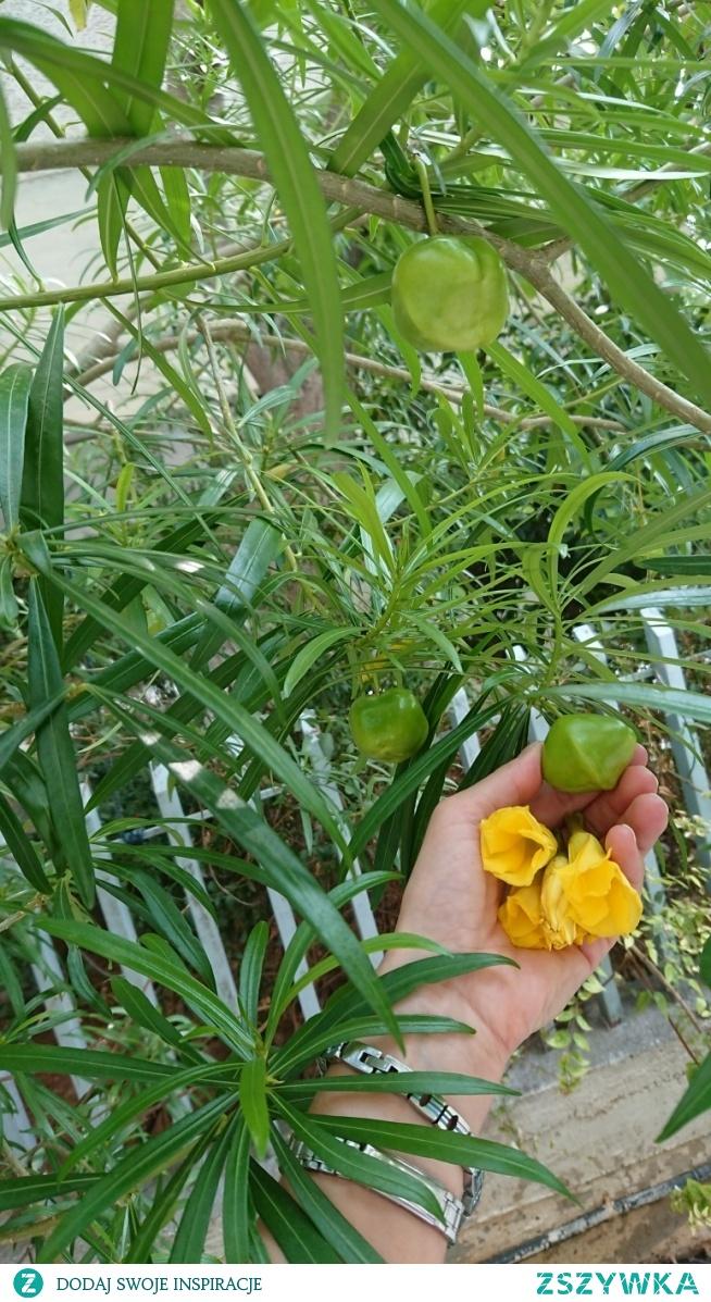 Kwiaty spadają owoce zostają. Thevetia peruviana obok rośnie drugie drzewko tego samego gatunku o pomarańczowych kwiatach w tym czasie bez ochoty uśmiechu .Natomiast ta żółta codziennie wita kwiatami jeszcze a gości dzisiaj jesień. Kwiaty pod balkonem.