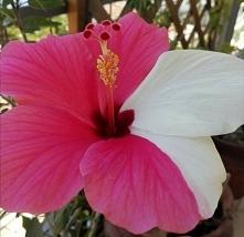 Hibiscus PL.