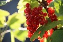 Porzeczka czerwona Ribes rubrum Krzew rośnie umiarkowanie szybko, dorasta najczęściej do 1,5 metra wysokości. Ma też szeroki i kulisty pokrój. Jej pędy są wzniesione, z biegiem ...