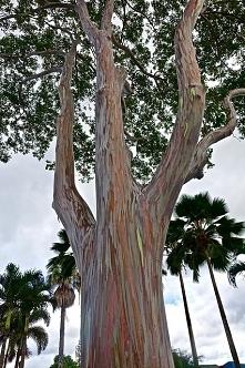Tęczowy eukaliptus - klikni...