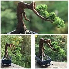 Sztuczne bonsai. Mam proble...