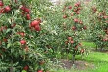 JABŁOŃ JONAGOLD MALUS DOMESTICA Jabłoń Jonagold Malus późno owocująca, odporna na mróz odmiana jabłoni. Wydaje coroczne, obfite plony. Jabłka są bardzo duże, okrągłe i delikatni...