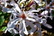 MAGNOLIA GWIAŹDZISTA ROSEA MAGNOLIA STELLATA Najwcześniej kwitnący gatunek ma...