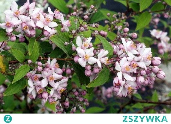 Żylistek mieszańcowy Mont Rose Deutzia hybrida