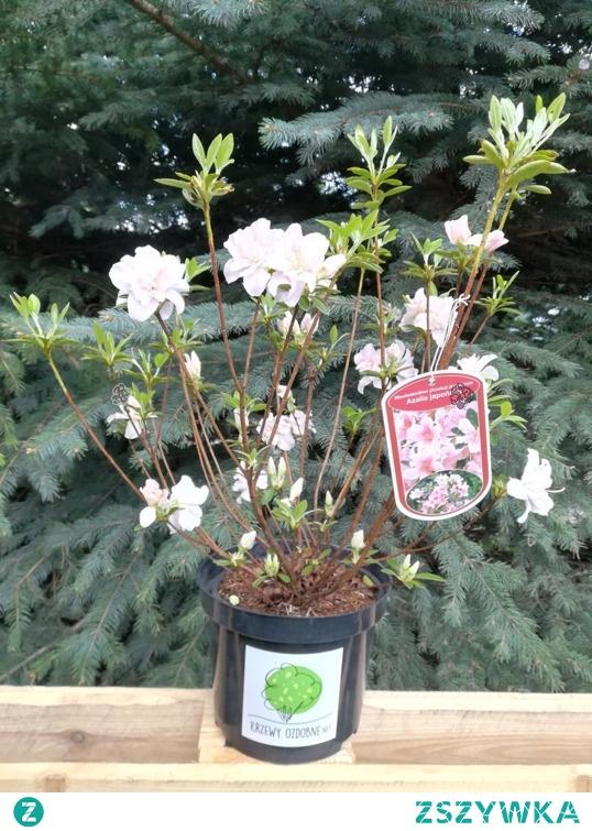 Azalia japońska Eliza Hyatt Rhododendron obtusum