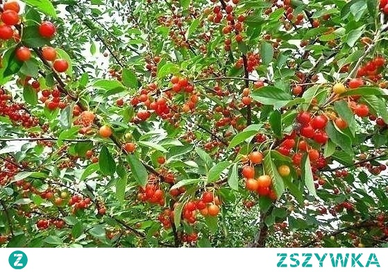Czereśnia Buttnera Czerwona Prunus avium