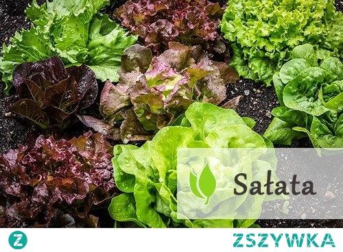 Sałata - źródło wielu witamin