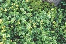 Gajowiec żółty Florentinum Lamiastrum galeobdolon