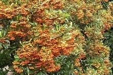 Ognik Firelight Ognik Firelight to krzew ciernisty, który dorasta do wysokości około 60 cm.