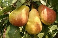 GRUSZA RED FAWORYTKA PYRUS COMMUNIS Grusza Red Faworytka jest letnią odmianą, gdzie owoce dojrzewają już w połowie sierpnia i nie mają tendencji do opadania. Owoce są duże, socz...