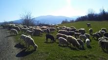 Jeszcze można spotkać owiec...