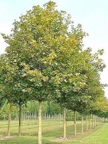 Klon polny Acer campestre