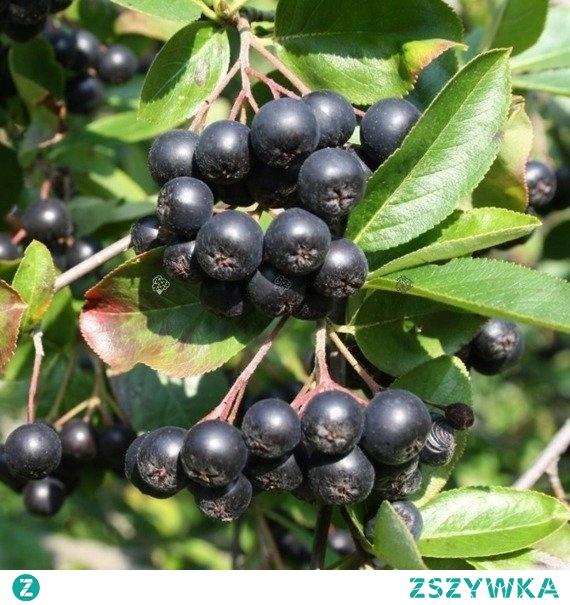 ARONIA ŚLIWOLISTNA VIKING ARONIA PRUNIFOLIA Odmiana aronii śliwolistnej wydająca bardzo duże, okrągłe owoce o barwie ciemnogranatowej oraz słodko-kwaśnym smaku z wyczuwalną lekką goryczką. Krzew Viking nadaje się do uprawiania zarówno w przydomowych ogródkach jak i wielkich plantacjach.