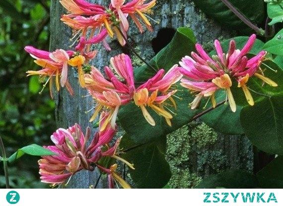 WICIOKRZEW HECKROTTA AMERICAN BEAUTY LONICERA HECKROTTII Ozdobny krzew o pnącym pokroju i dwubarwnych jaskrawo-pomarańczowych, pięknie pachnących kwiatach. Wiciokrzew Heckrotta American Beauty to pnącze idealne na pergole, altany, kolumny, ściany domów oraz do pojemników na tarasy i balkony.