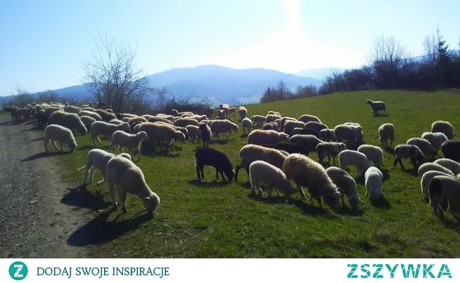 Jeszcze można spotkać owieczki w polskich górach