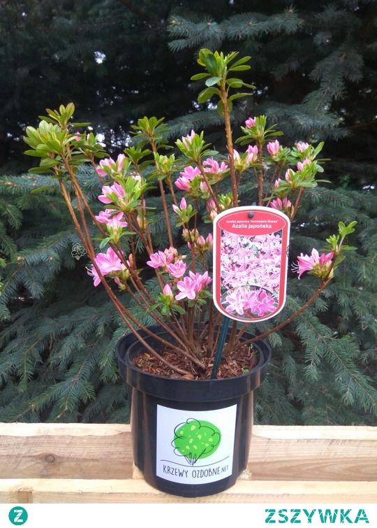 AZALIA JAPOŃSKA KERMESINA ROSE RHODODENDRON OBTUSUM Niski, zimozielony krzew. Azalia japońska Kermesina jest niezwykle dekoracyjna w okresie kwitnienia. Bogactwo pięknych, drobnych, jasnoróżowych kwiatów sprawia, że roślina jest bardzo popularna w nasadzeniach grupowych. Azalię można sadzić w donicach.