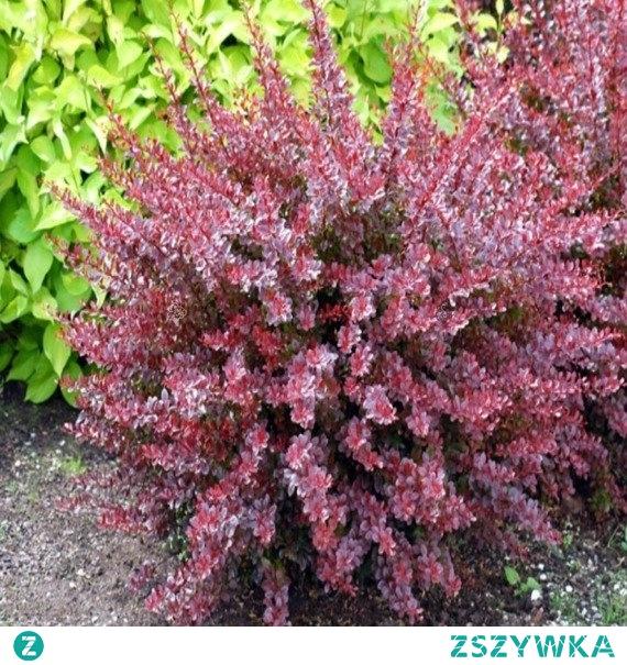 rga Pink Attraction Berberis thunbergii BERBERYS THUNBERGA PINK ATTRACTION BERBERIS THUNBERGII Warto podkreślić, iż Pink Attraction jest to gatunek mrozoodporny. Roślina ta świetnie sprawdzi się jako ozdobna, wypełniająca w przydomowych ogrodach, parkach, czy też zieleni miejskiej.
