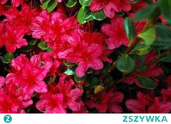 AZALIA JAPOŃSKA GEISHA RED RHODODENDRON OBTUSUM Obficie kwitnący wiosną krzew o pokroju zwartym i czerwonej barwie kwiatów. Azalia japońska Geisha Red uprawiana jest jako roślina ozdobna w ogrodach przydomowych. Jest nieodłącznym elementem ogrodu japońskiego, ogrodów skalnych i orientalnych.