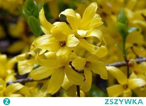FORSYCJA POŚREDNIA GOLDEN TIMES FORSYTHIA INTERMEDIA Odmiana Golden Times, wyróżnia się zielono - złotym zabarwieniem liści oraz pięknym żółtym kolorem kwiatów. Krzew ten nadaje się do wszelkiego rodzaju ogrodów przydomowych, nawet tych miejskich.