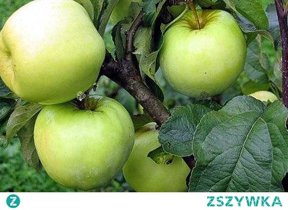JABŁOŃ ANTONÓWKA ZWYKŁA MALUS DOMESTICA Drzewo rośnie umiarkowanie szybko, t. Rozpoczyna owocowanie dość późno, bo dopiero po 5 – 7 latach od posadzenia. Owoce gotowe do zbioru są na początku września. Antonówka jest w pełni mrozoodporna, łatwa w uprawie i niewrażliwa na choroby.