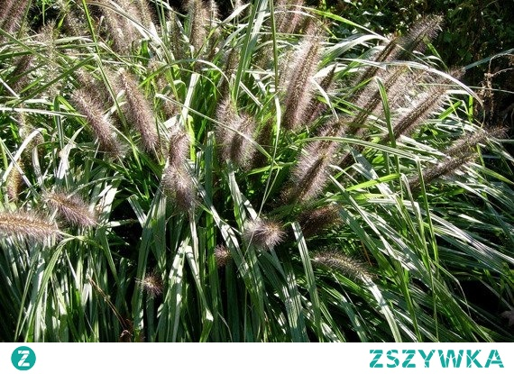 ROZPLENICA JAPOŃSKA MOUDRY PENNISETUM ALOPECUROIDES PIÓRKÓWKA Rozplenica japońska Moudry cechuje oryginalność i prawie czarne, piękne kwiatostany. Dorasta do wysokości od 60 do 75 cm. Liście ma wąskie, delikatnie wygięte i owłosione. Kwitnie od sierpnia aż do października. Stanowisko ciepłe i zaciszne.