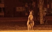 Australia i zwierzęta płoną...