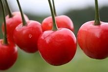 WIŚNIA LUCYNA PRUNUS CERASUS Wiśinia Lucyna wcześnie owocująca. Roślina doras...
