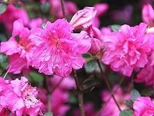 AZALIA JAPOŃSKA PETTICOAT PBR RHODODENDRON OBTUSUM Zimozielony krzew kwitnący...