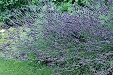 Lawenda pośrednia Grosso Lavandula intermedia      Lawenda pośrednia Grosso wytwarza intensywnie pachnące, piękne, ciemnofioletowe kwiaty. Kolejnym atutem rośliny są ciekawe liś...