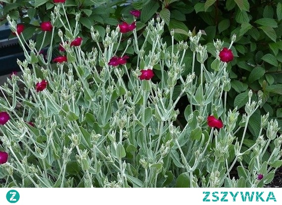 FIRLETKA KWIECISTA LYCHNIS CORONARIA Jest to roślina z rodziny goździkowatych o wysokości 50-80 cm. Pędy są szare, a liście srebrzyste, jajowate. Największą ozdobą Lychnis coronaria są jednak jej kwiaty – jaskrawo różowe. Firletki kwieciste kwitną od lipca do sierpnia.