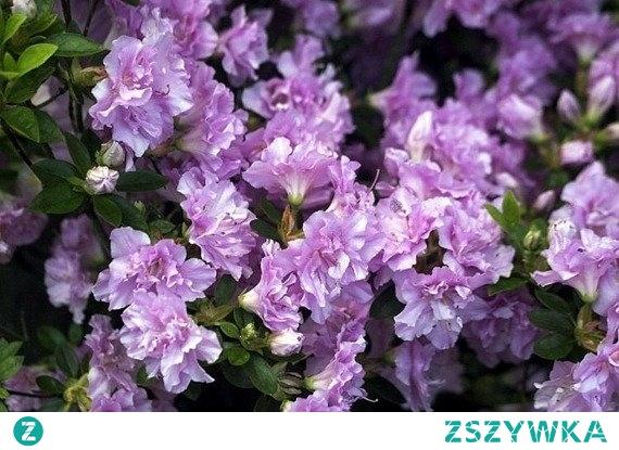 AZALIA JAPOŃSKA ELSIE LEE RHODODENDRON OBTUSUM Piękny, wrzosowaty krzew o zwartym pokroju. Azalii Elsie Lee uroku dodają cudowne, jasnofioletowe kwiaty zebrane w kwiatostany na szczytach pędów. Z uwagi na wyjątkowy wygląd tej rośliny, coraz więcej osób decyduje się na jej uprawę w swoich ogródkach.