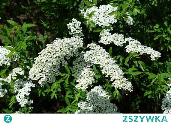 TAWUŁA SZARA GREFSHEIM SPIRAEA CINEREA Charakteryzuje się bardzo obfitym kwitnieniem oraz ciekawym, żółtym, jesiennym zabarwieniem liści. Tawuła szara Grefsheim polecana do sadzenia pojedynczo i w grupach, jako cenny, malowniczy wiosenny akcent.