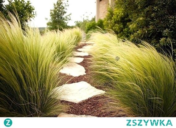 Ostnica cieniutka Ponytails Piękna, bujna, nowoczesna w niejednym ogrodzie. Ostnica cieniutka Ponytails Stipa tenuissima to trawa, która urzeka swym wyglądem. Doskonale odnajdzie się zarówno w nowoczesnym jak i tradycyjnym ogrodzie.