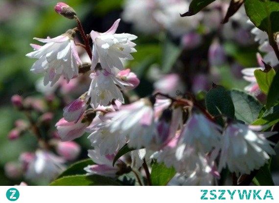 ŻYLISTEK SZORSTKI CODSALL PINK DEUTZIA SCABRA Krzew do 2 metrów wysokości charakteryzujący się bardzo dekoracyjnymi, drobnymi, białoróżowymi kwiatami, zebranymi w okazałe kwiatostany. Żylistek szorstki Codsall Pink kwitnie bardzo obficie na początku czerwca. Sprawdzi się w roli żywopłotu.