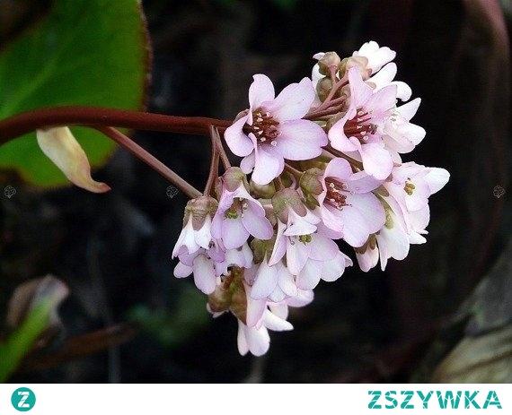 BERGENIA SILBERLICHT BERGENIA SCHMIDTII Polska bergenia sercowata/sercolistna to roślina ozdobna na skalniaki. Bardzo dobrze prezentuje się w pobliżu zbiorników i oczek wodnych. To wyjątkowa ozdoba skalniaków, rabat ze względu na zachwycające, drobne, dzwonkowate, fioletowo-różowe kwiaty.