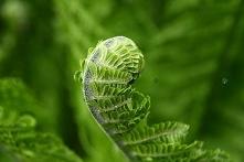 Paproć nerecznica samcza Dryopteris filix-mas Wieloletnia roślina o niezwykły...