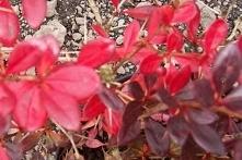 Berberys Thunberga Red Chief Berberis thunbergii      Wizualną cechą charakterystyczną odmiany Red Chief są parasolowato przewieszające się boczne gałęzie.Zaleca się go do sadze...
