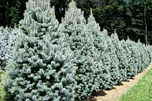 Świerk kłujący Iseli Fastigiate Picea pungens      Ciekawa forma świerka kłuj...