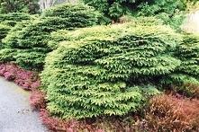 Świerk pospolity Nidiformis Picea abies      Płaskokulisty kształt jest charakterystyczny dla odmiany Nidiformis. Świerk ten nada się do każdego przydomowego ogrodu.