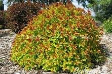 Tawuła japońska Magic Carpet Spiraea japonica      Wybarwienie jest kontrastowe – młode pędy są pomarańczowe, a starsze jaśnieją do żółtego.Tawuła Magic Carpet polecana jest do ...