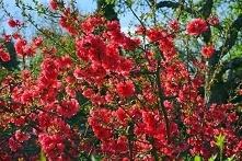 Pigwowiec pośredni Red Trail Chaenomeles superba      Krzew o ciernistych pędach wyróżniający się kwiatami w kolorze intensywnej czerwieni. Pigwowiec Red Trail cechują duże jada...
