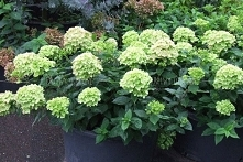Hortensja bukietowa Little Lime PBR Hydrangea paniculata      Ten karłowy i z...